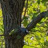 Nut hatch on an oak tree