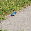 A blue bird catching a bug on the sidewalk