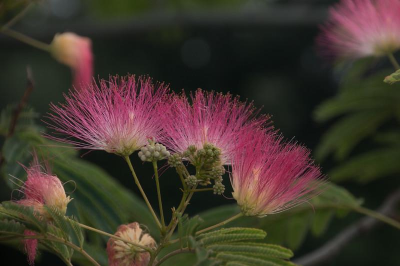 Silktree flowers