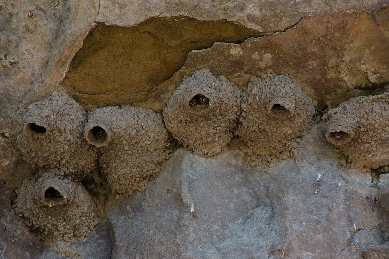 Baby swallows peering out of their nests.