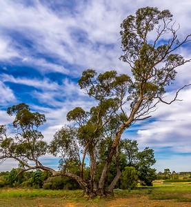 Eucalyptus Oleosa - the Oil Mallee