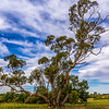 Eucalyptus Oleosa - the Oil Mallee