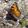 California Tortiseshell (Nymphalis californica) butterfly, Mt Ashland, Oregon