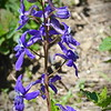 Menzies' Larkspur, Delphinium menziesii on Mount Ashland, Oregon,