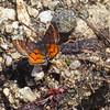 Moth, Mt Ashland, Oregon