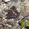 California Tortiseshell (Nymphalis californica) butterfly, Mt Ashland, Oregon