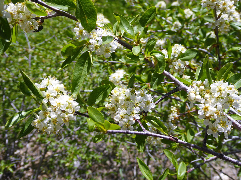 Bitter Cherry, Prunus emarginata , on Mt Ashland, Oregon