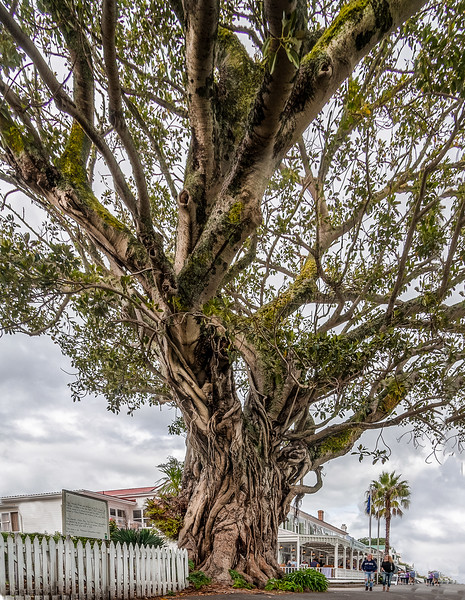 Morton Bay Fig