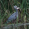 Great Blue Heron eating a Bowfin Fish