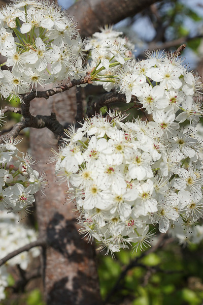 Ornamental Japanese Cherry