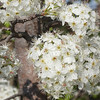 Ornamental Japanese Cherry