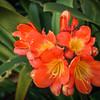 Orange Succulents
