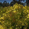 Flowering Wattle