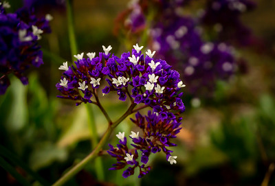 Statice Flower ( Perezil Sea Lavender)