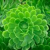 Symmetrical Succulent