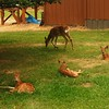 Young Fawns Taking a Break, Libby, MT