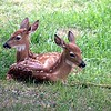 Twin Fawns, Libby, MT