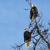 Pair of Bald Eagles, Libby, MT