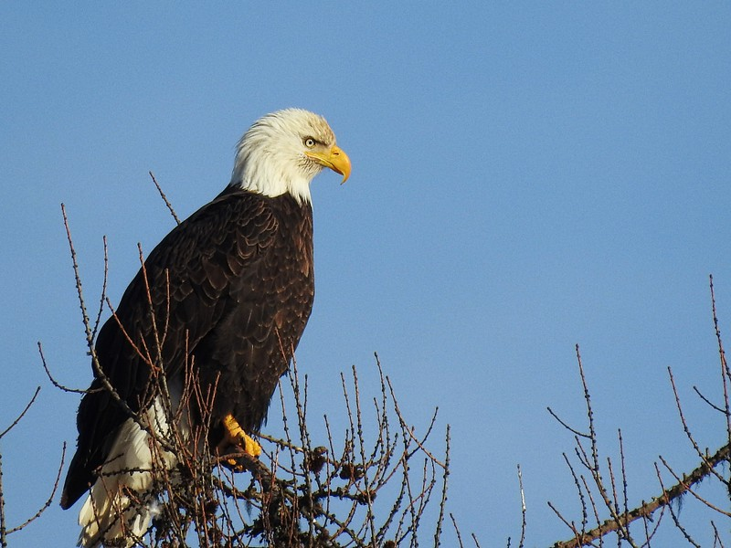 Bald Eagle, Libby, MT
