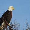 Bald Eagle, Libby, MT