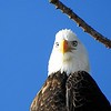 It Wasn't Me, Bald Eagle, Libby, MT