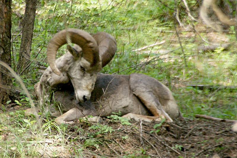 Just Sleeeping, Big Horn Mountain Sheep, Libby MT