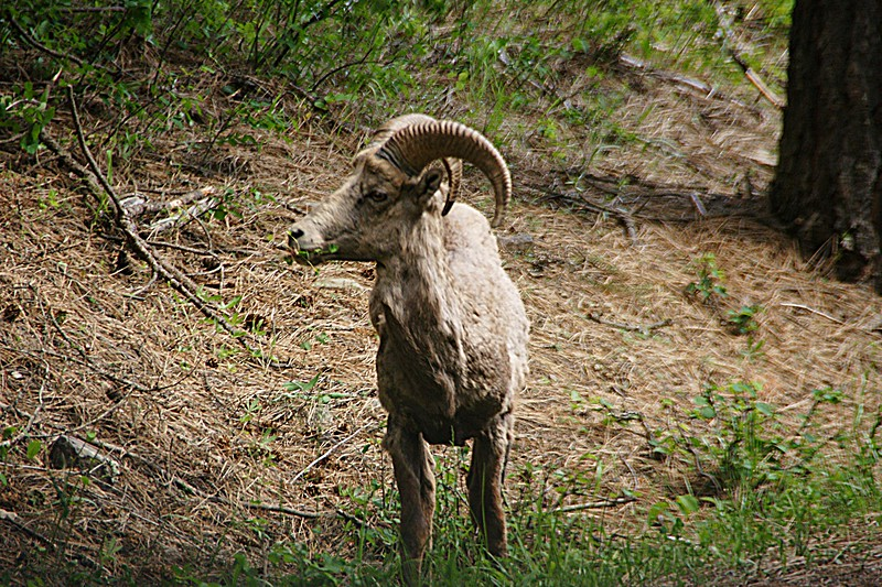 Munching and Watching, Big Horn Mtn Sheep, LIbby MT