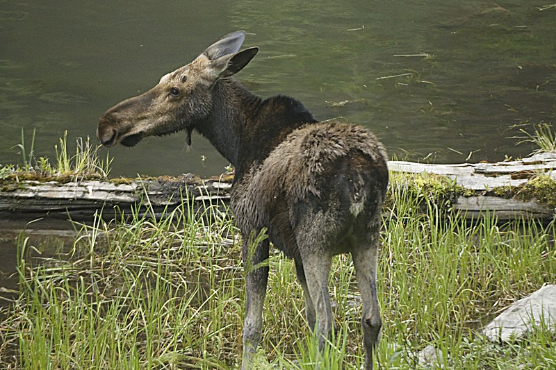Moose, Libby MT