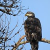 Young Bald Eagle, Libby, MT