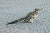 Beep Beep - a roadrunner in the hotel parking lot