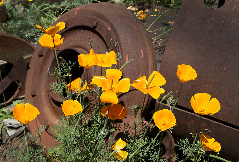 poppies and rust