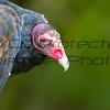 Turkey Vulture 03- Jim McMillan: jimmcmillan@prodigy.net