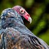 Turkey Vulture 02 - Jim McMillan: jimmcmillan@prodigy.net