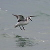 Red Phalarope - 30yds off end of Waukegan pier.