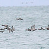 Flock of Redhead Ducks - Waukegan Pier.