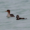 Red-breasted Merganser and female Long-tailed Duck - Waukegan pier