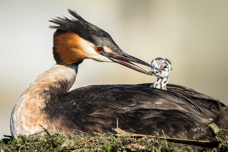 B Grade Honours, Chris Watson - Australasian crested grebe and chick