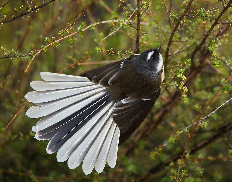 B Grade, Honours, Barbara Lee - South Island Fantail
