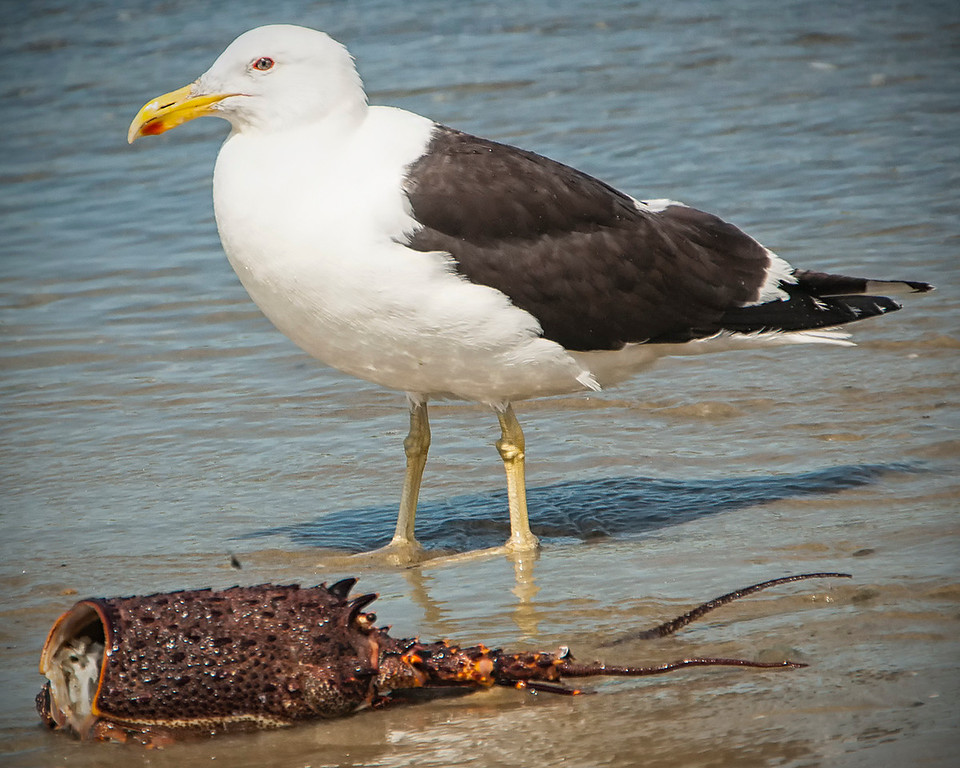 B Grade, Merit, Liz Collett - Southern black billed gull Larus dominicanus Lichtenstein and Crayfish body