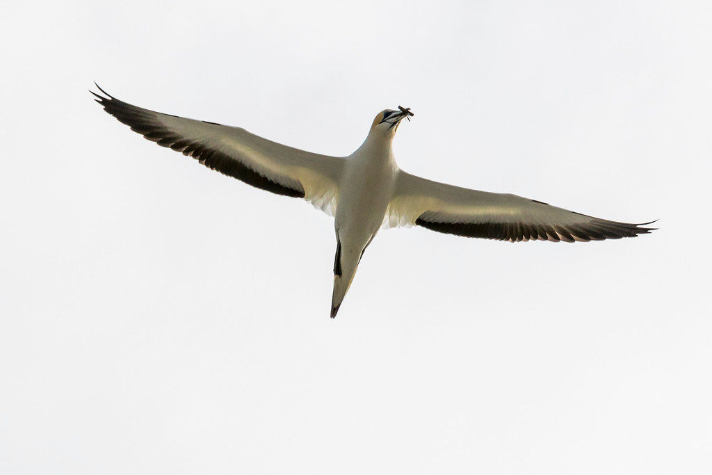 C Grade, Merit, Val Wardell - Gannet in flight with nesting material