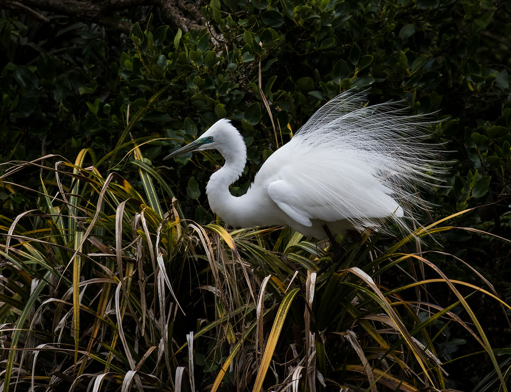 Merit B Grarde, Val Wardell - White heron (Kotuku) in breeding plumage