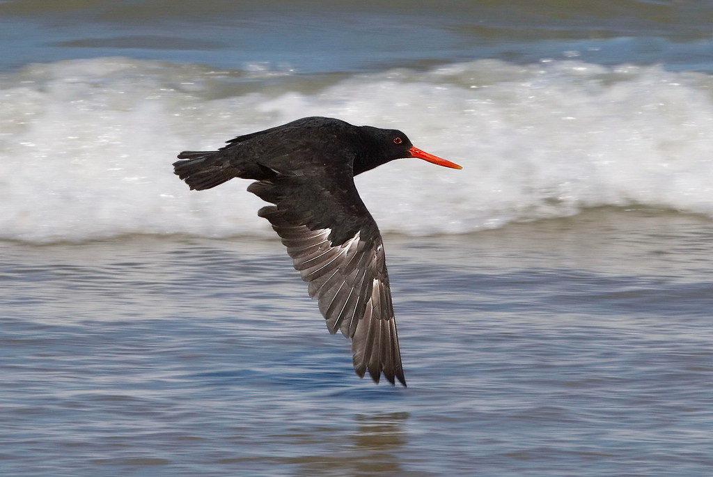 Honours B Grade, Barbara Lee - Black Oystercatcher in flight