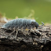 Merit C Grade, Mark Phillips - Slater - Porcellio scaber