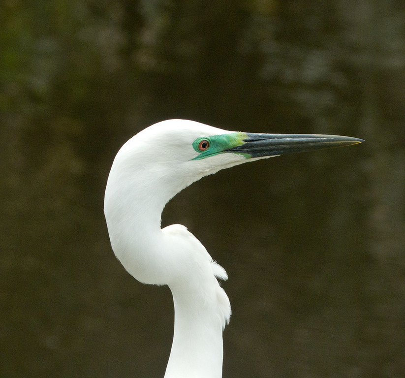 Merit C Grade, Rob Wardell -White Heron Head Study