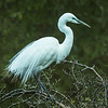 Merit B Grade, Stephanie Forrester - Ardea modesta - White Heron in breeding plumage