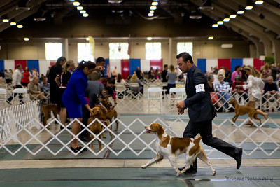 1      19ROCKET OVR T'POINT POLLACK , SR87994908 6/8/2015. Breeder: Jodi Pollack. By CH Vict'rys Banner Over T'Point JH -- Pollacks Sassy Girl JH. Nancy and Marty Noble . Dog. Dakota Anderson, Agent.