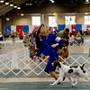 FC SHILOH'S LAST DASH OF FLASH , SR73294701 5/15/2012. Breeder: Pennie J Peterson. By CH Shiloh's Somewhere In Time -- CH Shiloh's Razzle N Dazzle. Pennie J. Peterson . Dog. Katelyn Ford, Agent.