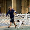 21	FC SHILOH'S LAST DASH OF FLASH , SR73294701 5/15/2012. Breeder: Pennie J Peterson. By CH Shiloh's Somewhere In Time -- CH Shiloh's Razzle N Dazzle. Pennie J. Peterson . Dog. Katelyn Ford, Agent.