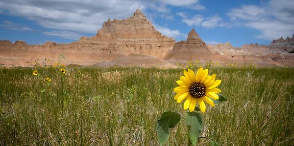 DA094,DP,Badlands Sunflower