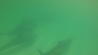 Bottleneck Dolphins